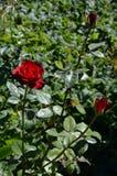Les roses rouges symbolisent l'amour Images stock