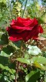 Les roses rouges symbolisent l'amour Photos stock