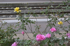 Les roses s'approchent du chemin de fer Images libres de droits