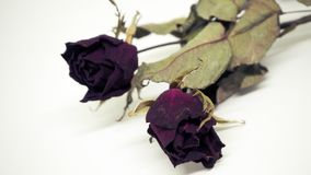 Les roses roses se défraîchissent Réfléchit tristement le jour du ` s de Valentine Le mauvais de Valentine photos libres de droits