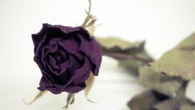 Les roses roses se défraîchissent Réfléchit tristement le jour du ` s de Valentine Le mauvais de Valentine photo libre de droits