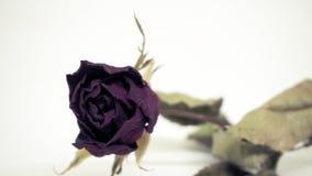 Les roses roses se défraîchissent Réfléchit tristement le jour du ` s de Valentine Le mauvais de Valentine photos stock