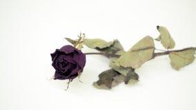 Les roses roses se défraîchissent Réfléchit tristement le jour du ` s de Valentine Le mauvais de Valentine photographie stock libre de droits