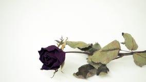 Les roses roses se défraîchissent Réfléchit tristement le jour du ` s de Valentine Le mauvais de Valentine photographie stock