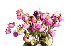 les roses se sont défraîchies Images libres de droits