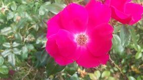 Les roses sont rouges Image stock