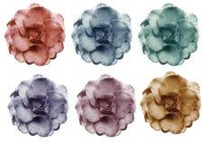 Les roses violettes roses jaunes bleues rouges réglées fleurit, fond d'isolement par blanc avec le chemin de coupure closeup Aucu Images stock