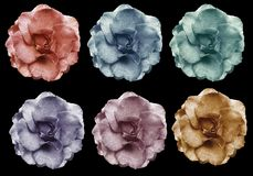 Les roses violettes roses jaunes bleues rouges réglées fleurit, noircit le fond d'isolement avec le chemin de coupure closeup Auc Image stock