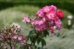 Les rosiers roses presque fleurissent dans les jardins des visites d'un château (les Frances) Image stock