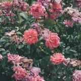 Les rosiers roses se ferment dans le jardin Image libre de droits