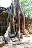 Les ruines et les racines antiques d'arbre, d'un temple historique de Khmer dedans Image stock