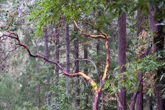 Les séquoias d'Armstrong énoncent la réservation naturelle, la Californie, Etats-Unis - pour préserver 805 acres 326 ha du séquoi Photos stock