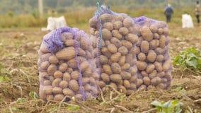Les sacs bourrés de pommes de terre se tiennent dans le domaine Moisson des pommes de terre par des paysans Photographie stock