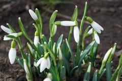 Les sapins fleurit au printemps où c'est perce-neige Images stock
