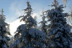 Les sapins ont couvert la neige et la gelée images stock