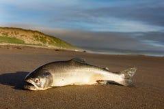 Les saumons argentés ont moulé à terre par le saut de pression de l'océan images stock