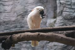 Les saumons blancs crested des oiseaux de cacatoès sur la perche en bois Images libres de droits