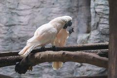 Les saumons blancs crested des oiseaux de cacatoès sur la perche en bois Photo libre de droits