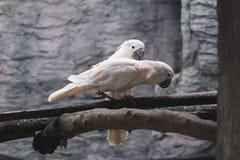 Les saumons blancs crested des oiseaux de cacatoès sur la perche en bois Image libre de droits
