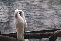 Les saumons blancs crested des oiseaux de cacatoès sur la perche en bois Photos stock