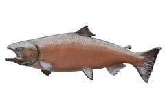 Les saumons de roi rougissent dedans couleur d'isolement sur le blanc Photographie stock libre de droits