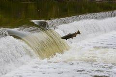 Les saumons sautant en amont sur un barrage de rivière Photos libres de droits