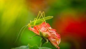 Les sauterelles vertes sucent le nectar rouge des roses Photo libre de droits