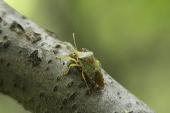 Les scarabées Photographie stock libre de droits