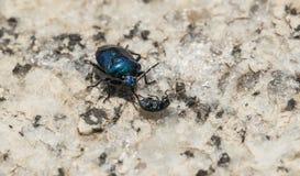 Les scarabées Image stock
