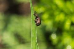 Les scarabées Photo libre de droits