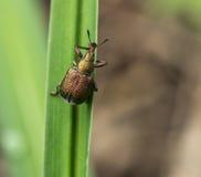 Les scarabées Image libre de droits