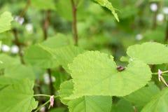 Les scarabées de Brown joignent sur les feuilles de la noisette Photo libre de droits