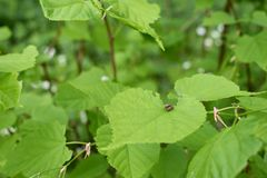 Les scarabées de Brown joignent sur les feuilles de la noisette Photographie stock