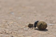 Les scarabées de Dung roulent une boule de fumier Photographie stock