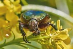 Les scarabées de scarabée frôlent sur le bleuet russe Photographie stock libre de droits
