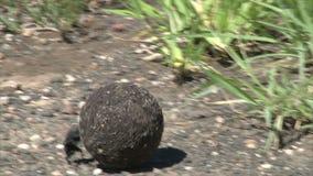 Les scarabées de Scarabaeus roulent la boule de fumier banque de vidéos