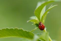 Les scarabées, insectes, branche le fond sur table d'écoute Photographie stock libre de droits
