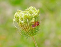 Les scarabées se repose sur une fleur Photo stock