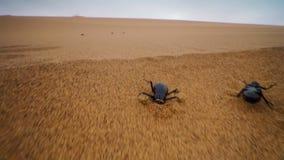 Les scarabées sombres emballent jusqu'au dessus des dunes pour atteindre le brouillard avant qu'il disparaisse dans la dune du Na photos stock