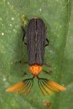 Les scarabées tropicaux sont étonnants et divers Image libre de droits