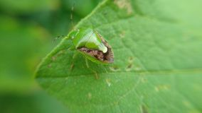 Les scarabées verts mangent des feuilles photo stock