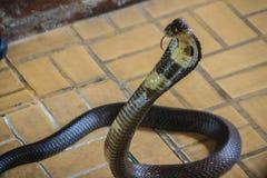 Les serpents avec un monocle dangereux de cobra entrent dans la maison Le monocle images libres de droits