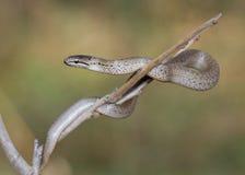 Les serpents lisses enlacent le branchement d'arbre. Photo libre de droits
