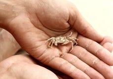 Les Seychelles. Crabe blanc. Photo libre de droits