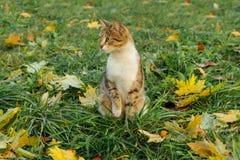 Les sièges de chat sur l'érable jaune tombé part Image libre de droits