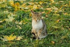 Les sièges de chat sur l'érable jaune tombé part Photographie stock