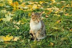 Les sièges de chat sur l'érable jaune tombé part Images libres de droits