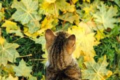 Les sièges de chat sur l'érable jaune tombé part Photos libres de droits