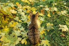 Les sièges de chat sur l'érable jaune tombé part Photo libre de droits