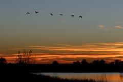 Les silhouettes de Sandhill tend le cou le vol au coucher du soleil photo libre de droits